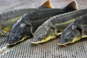 카자흐스탄 어류 소비 늘어날 듯